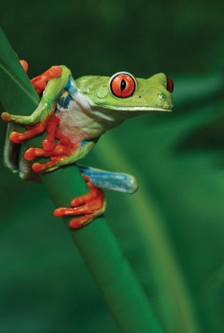 Gohagan_2020_CostaRicaPanama_02_Red-eyed leaf frog Courtesy ICT