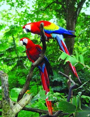 Gohagan_2020_CostaRicaPanama_04_Scarlet macaws Courtesy Juan Amighetti-ICT